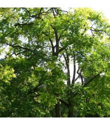Céder španielsky - Cedrela odorata - semená cédra - 8 ks