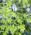 Tabak Perfume Lime F1 - Nicotiana sanderae - semená tabaku - 50 ks