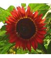 Slnečnica Moulin Rouge - Helianthus annuus - semená slnečnice - 8 ks