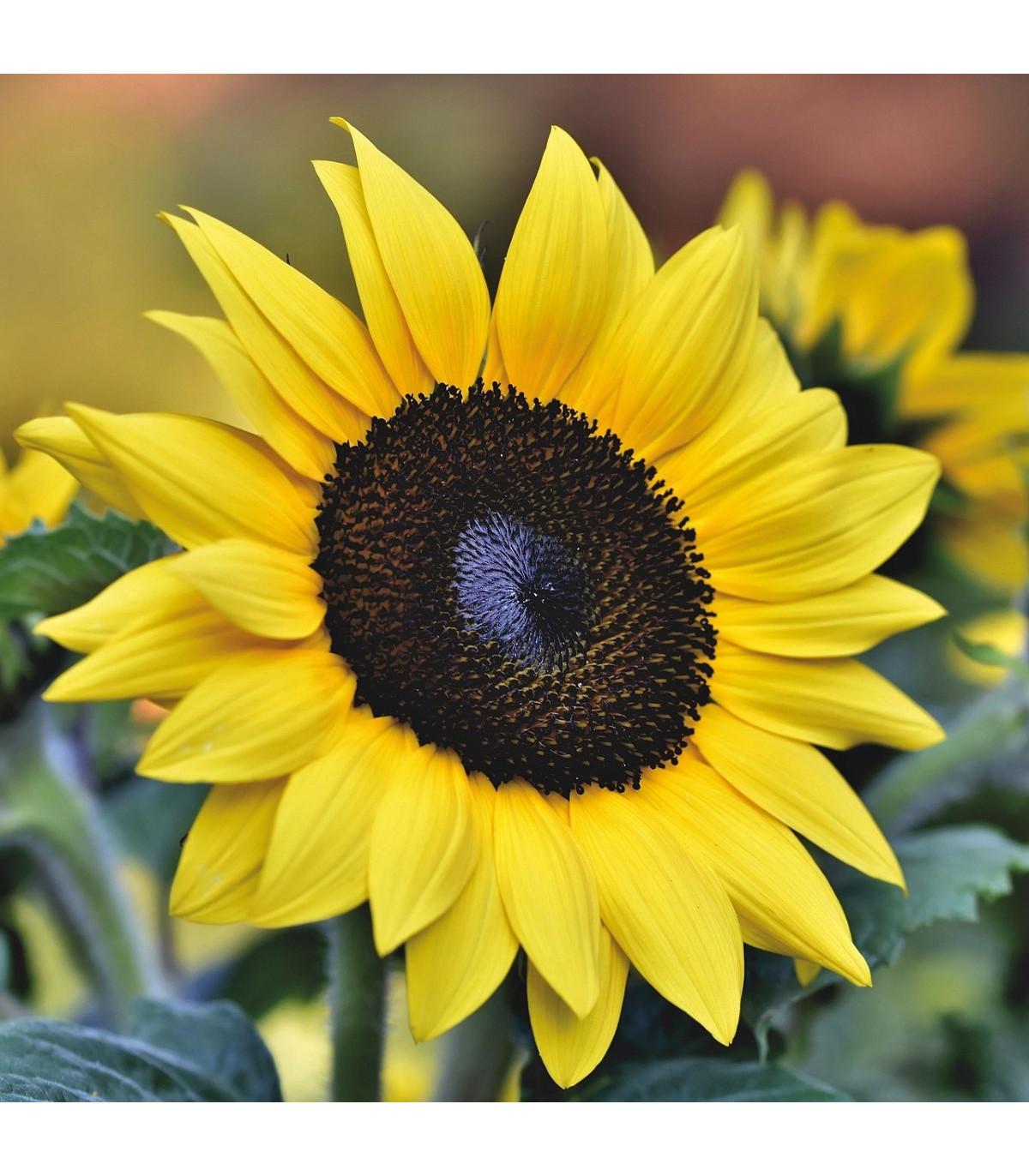 Slnečnica Sunrich Lemon - Helianthus annuus - semená slnečnice - 8 ks