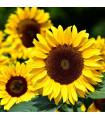 Slnečnica Big Smile - Helianthus annuus - semená slnečnice - 8 ks