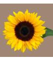 Slnečnica Mezzulah - Helianthus annuus - semená slnečnice - 8 ks