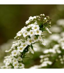 Lobulária prímorská Schneeteppich - Lobularia maritima - semená lobulárie - 50 ks