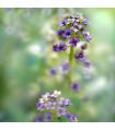Lobulária prímorská Könnigsteppich - Lobularia maritima - semená lobulárie - 50 ks