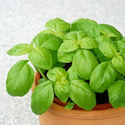 BIO bazalka zelená - Ocimum basilicum - bio semená bazalky - 200 ks