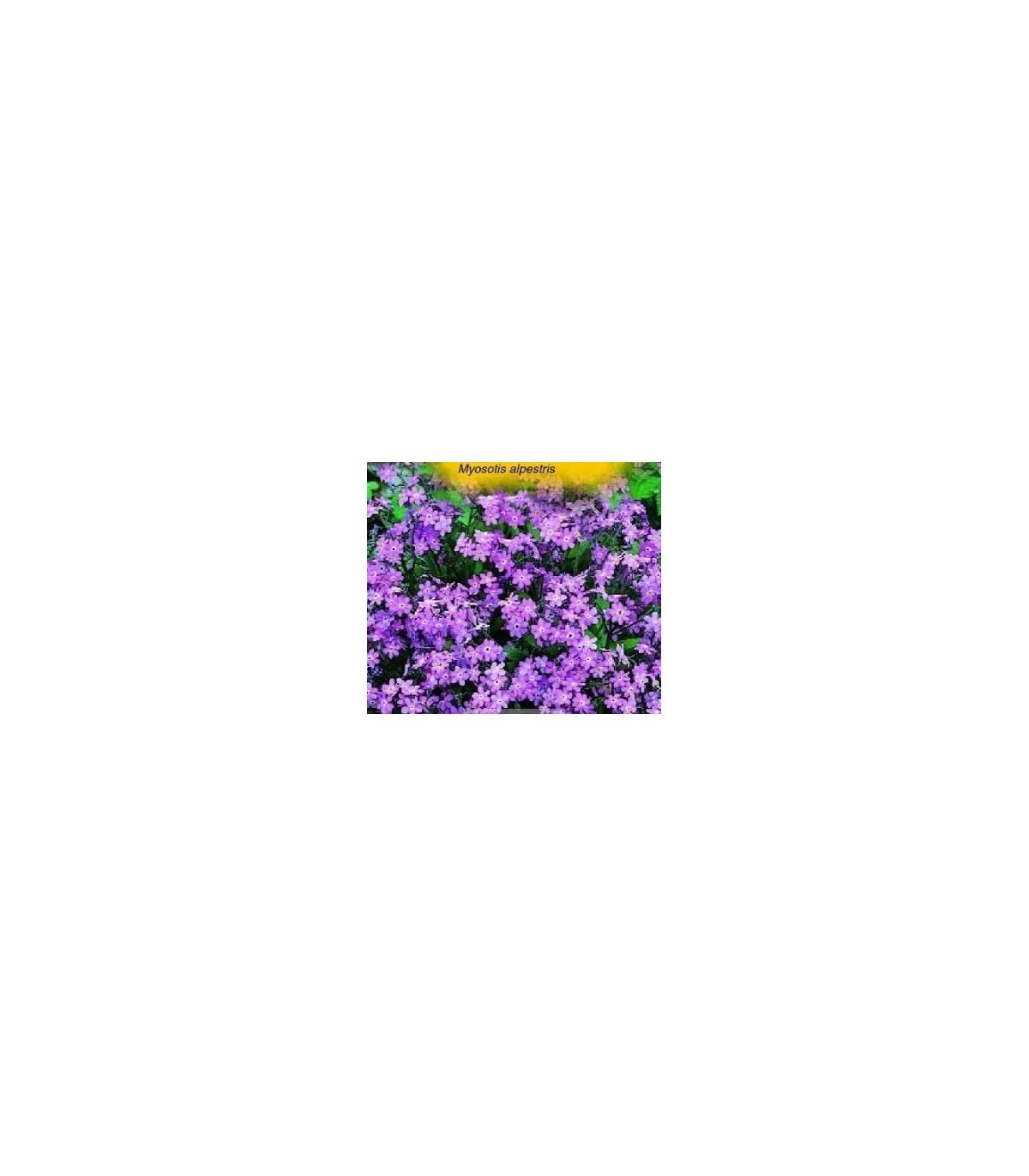 Nezábudka alpínska-Myosotis alpestris-semená nezábudky-0,1 g