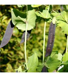Hrach fialový Blauwschokker - Pisum sativum - semená - 25 ks
