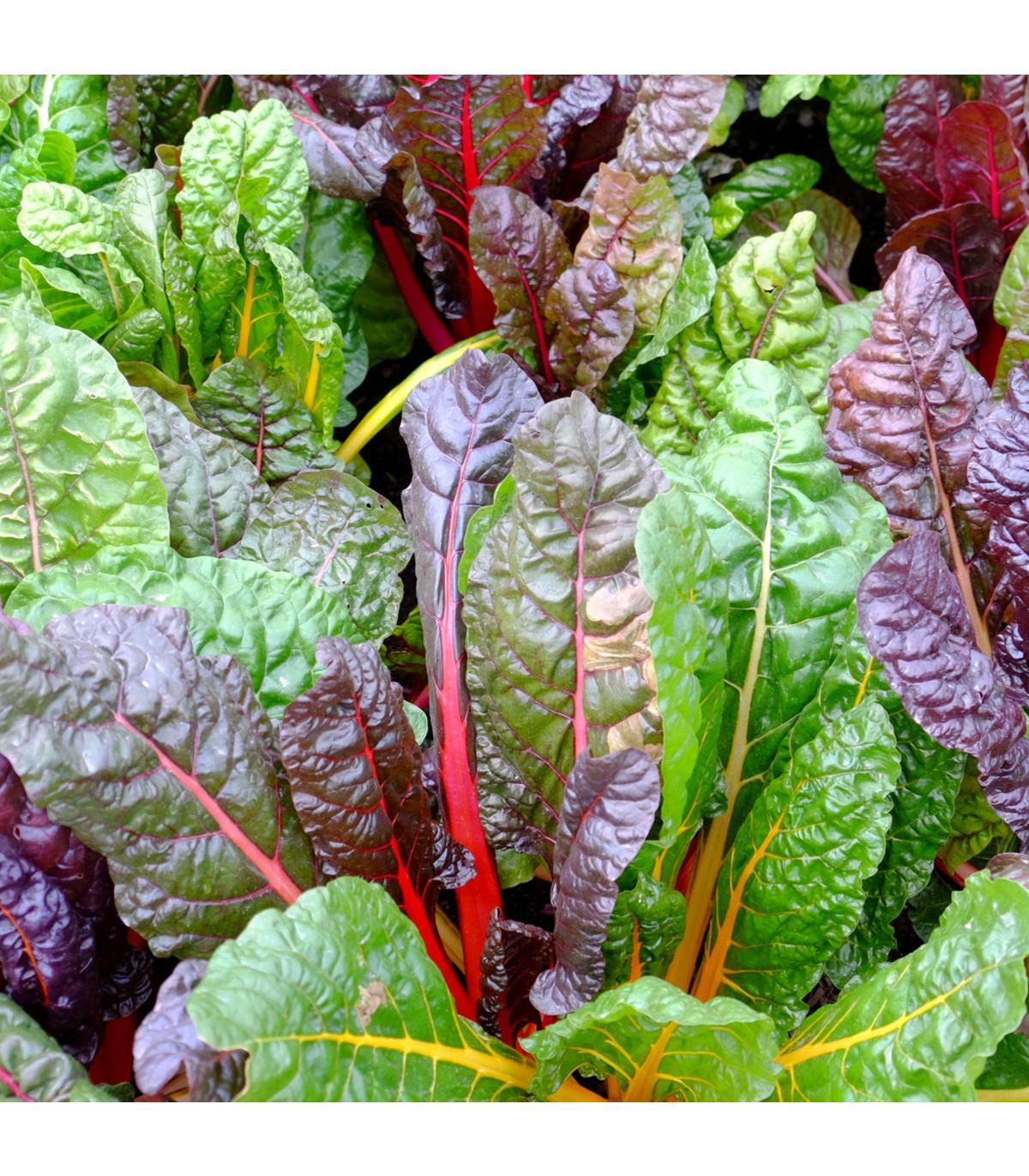 Mangold dúhový - Beta vulgaris - semená - 25 ks