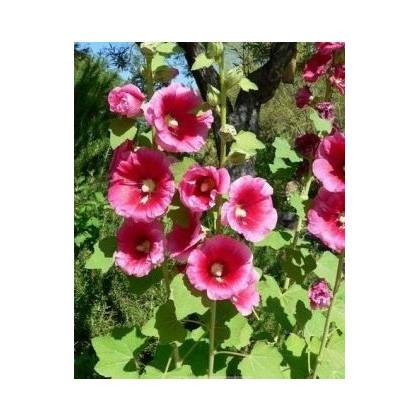 Topoľovka plnokvetá-Alcea rosea-semená topoľovka-40 ks