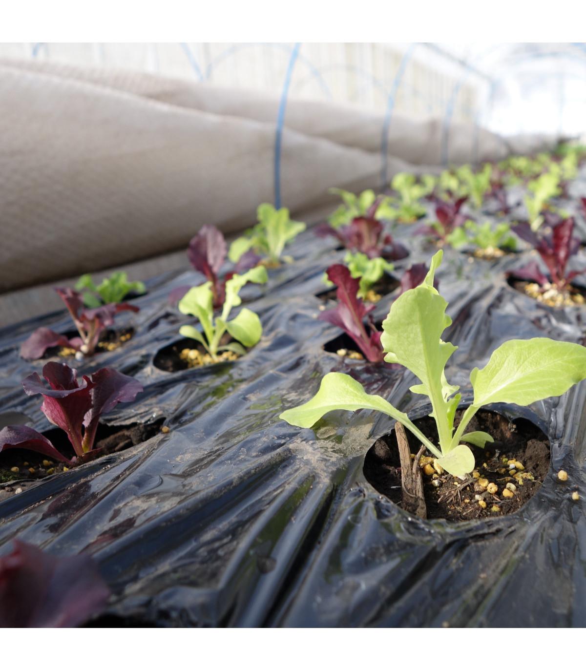 Šalát na balkón Baby leaf - Lactuca sativa - semená - 100 ks