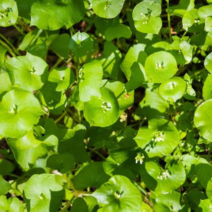 Portulaka zimná - Klajtónia prerastená - Claytonia perfoliata - semená - 100 ks