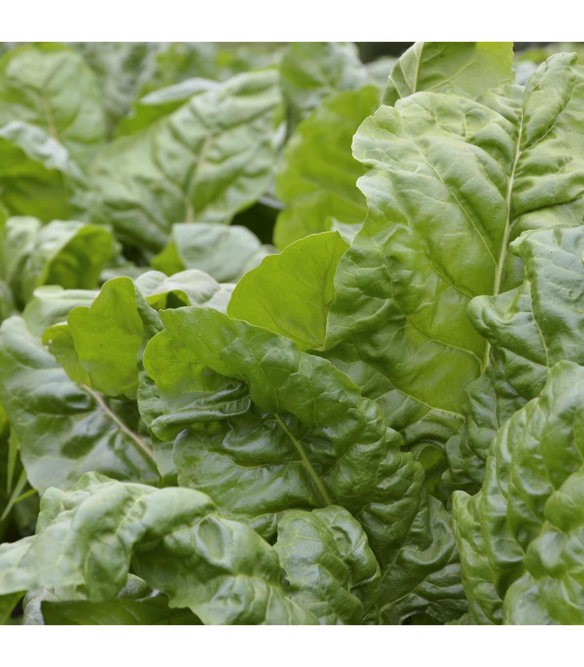 Mangold zelený Gewone - Beta vulgaris - semená - 200 ks