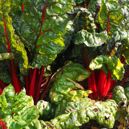 Mangold stonkový červený - Beta vulgaris - semená - 75 ks