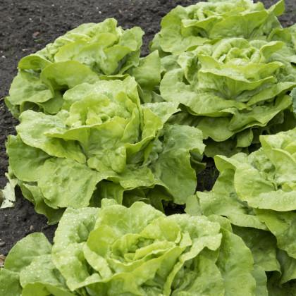Šalát hlávkový Attractia - Lactuca sativa - semená - 100 ks