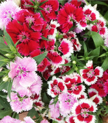 Klinček jednoduchý - zmes - Dianthus barbatus - semená - 300 ks