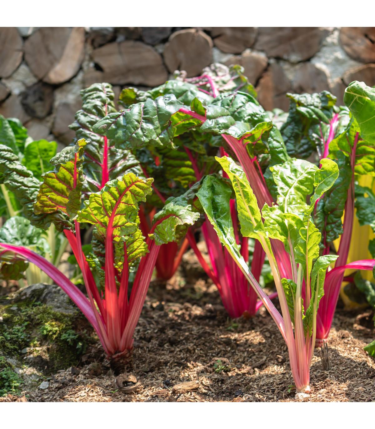 Mangold stopkový ružový - Beta vulgaris - semená - 75 ks