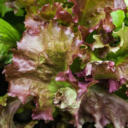 Šalát trhací americký hnedý - Latusa sativa - semená - 450 ks