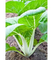 Pak Choi čínska kapusta - Brassica chinensis - semená - 100 ks