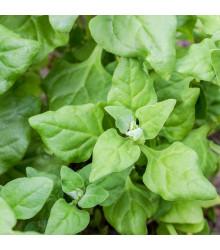 Špenát novozélandský - Tetragonia tetragonioide - semená - 35 ks