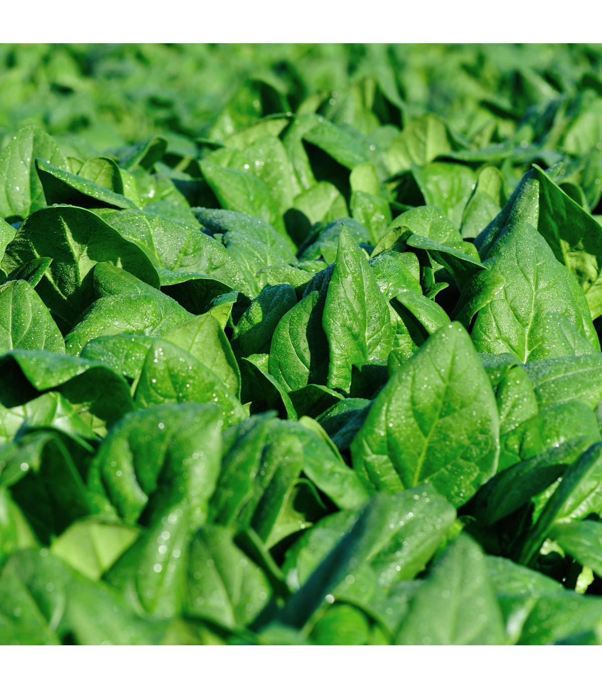 Špenát siaty kapustový Monnopa - Spinacia oleracea - semená - 100 ks