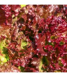 Šalát červený kučeravý - Lactuca sativa - semená - 900 ks