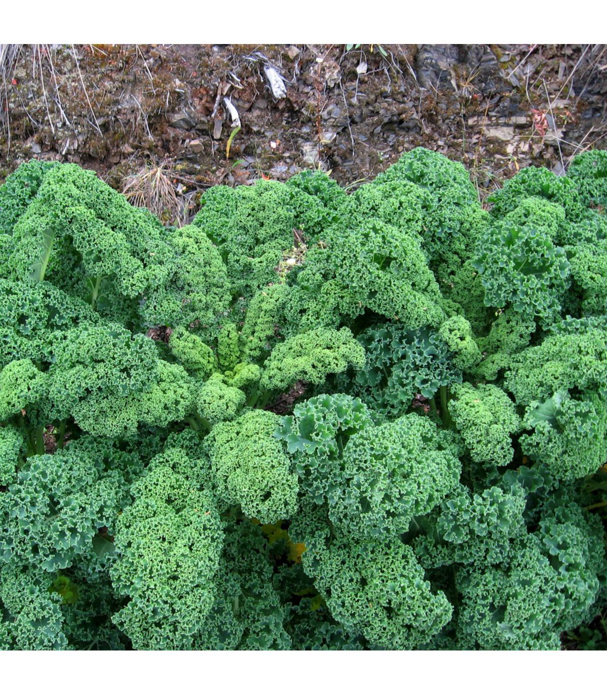 Kel kučeravý zelený Kadet-semená kelu-200 ks