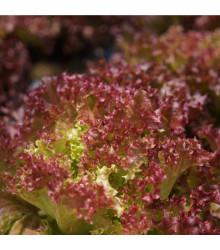 BIO šalát listový kučeravý Lollo Rossa - Lactuca sativa - bio semená šalátu - 0,1 g