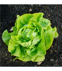 BIO šalát hlávkový maslový Sylvesta - Lactuca sativa - bio semená šalátu - 100 ks