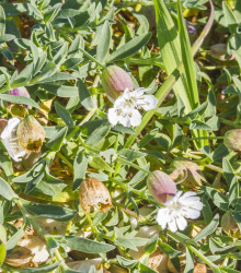 Silenka nadutá Stridolo - Silene inflata - semená - 0,2 g