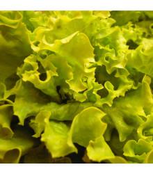 BIO šalát hlávkový Maikönig - Lactuca sativa - bio semená šalátu - 0,1 g