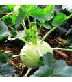 Kaleráb raný-Kartágo F1-semená kalerábu-50 ks