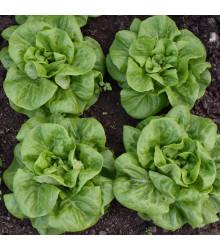BIO šalát hlávkový Batavia Leny - Lactuca sativa - bio semená šalátu - 100 ks