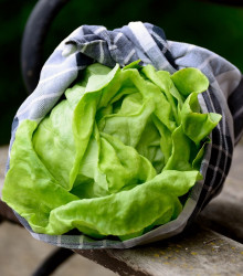BIO šalát ľadový Saladin - Lactuca sativa - bio semená šalátu - 0,1 g