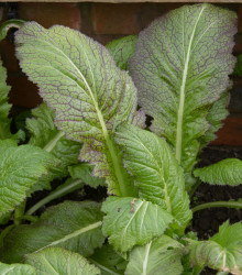 Horčica habešská - kapusta žliabkatá - Brassica carinata - semená - 250 ks