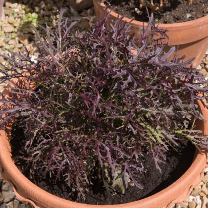 Mizuna Red Knight F1 - japonská horčica - Brassica rapa ssp. Japonica - semená - 400 ks