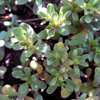 Portulaka zlatá - Portulaca oleracea - semená - 30 ks