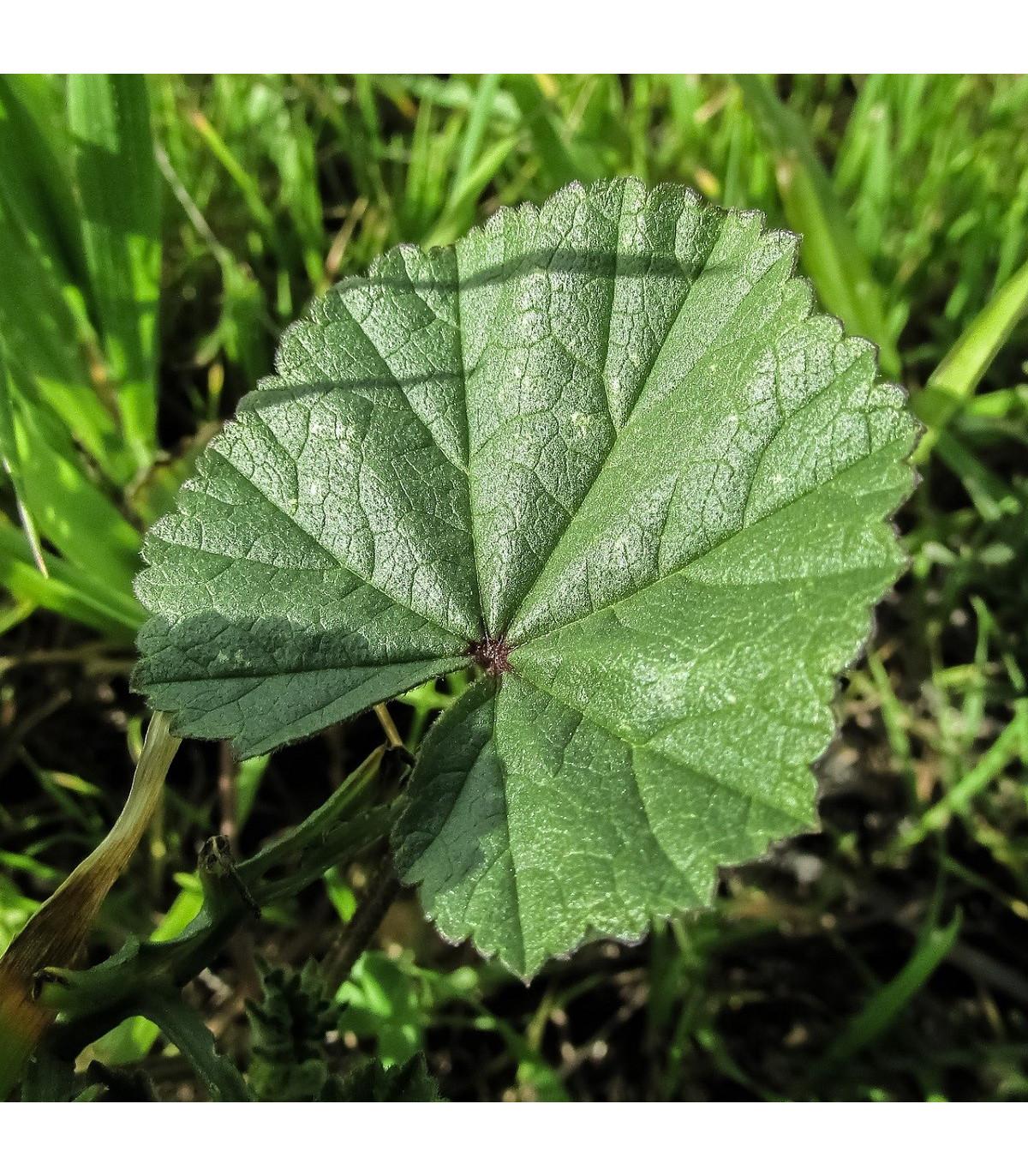 Slez praslenatý - Malva verticillata - semená - 150 ks