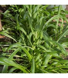 Japonský šalát Mibuna - Brassica rapa - semená - 40 ks