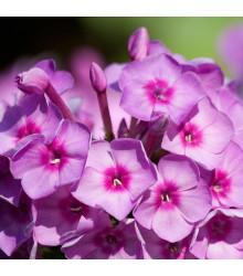 Plamienka fialová - flox - Phlox - voľnokorenné sadenice plamienky - 1 ks