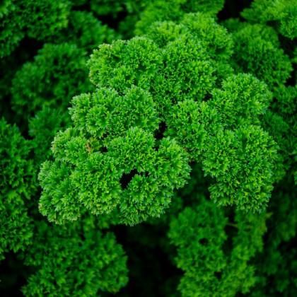 Petržlenová vňať Mooskrause - Petroselinum crispum - semená - 500 ks
