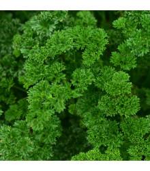 Petržlenová vňať Zelená perla - Petroselinum crispum convar. vulgare - semená - 1 g