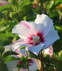 Ibištek sýrsky biely - Hibiscus syriacus - semená - 12 ks