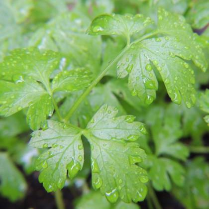 Petržlenová vňať talianska obrovská - Petroselinum crispum - semená - 400 ks