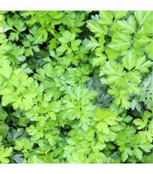 Petržlenová vňať hladká - Petroselinum crispum - semená - 500 ks