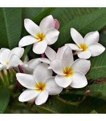 Pluméria - Havajský kvet - Plumeria - semená - 3 ks