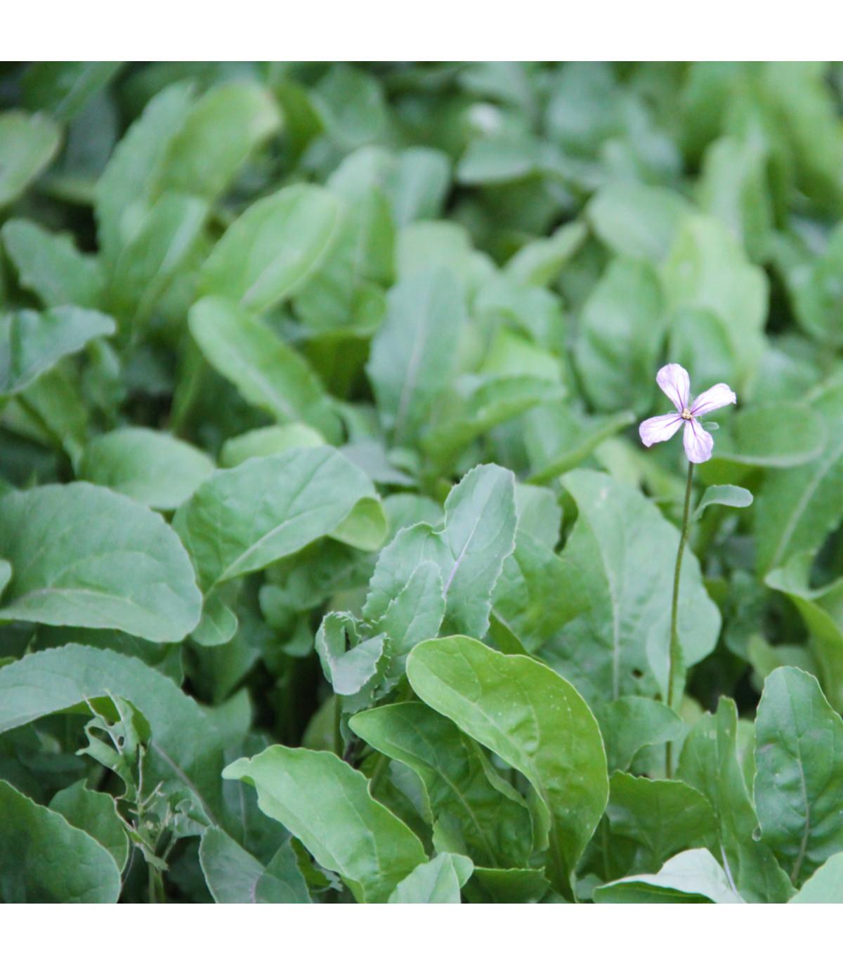 Rukola siata - Eruca sativa - semená - 250 ks