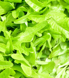 Dvojradovka tenkolistá Sorrento - Diplotaxis tenuiflora - divoká rukola - semená - 0,5 g