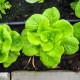 Šalát listový Safír - Lactuca sativa - semená - 400 ks