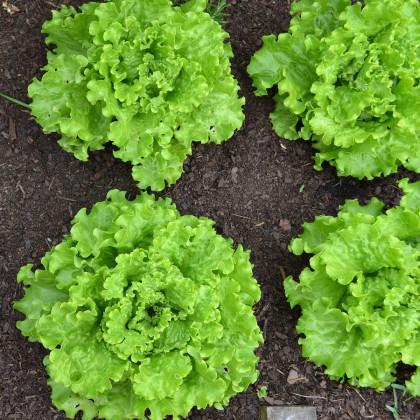 Šalát hlávkový Batavia - Lactuca sativa - semená - 800 ks