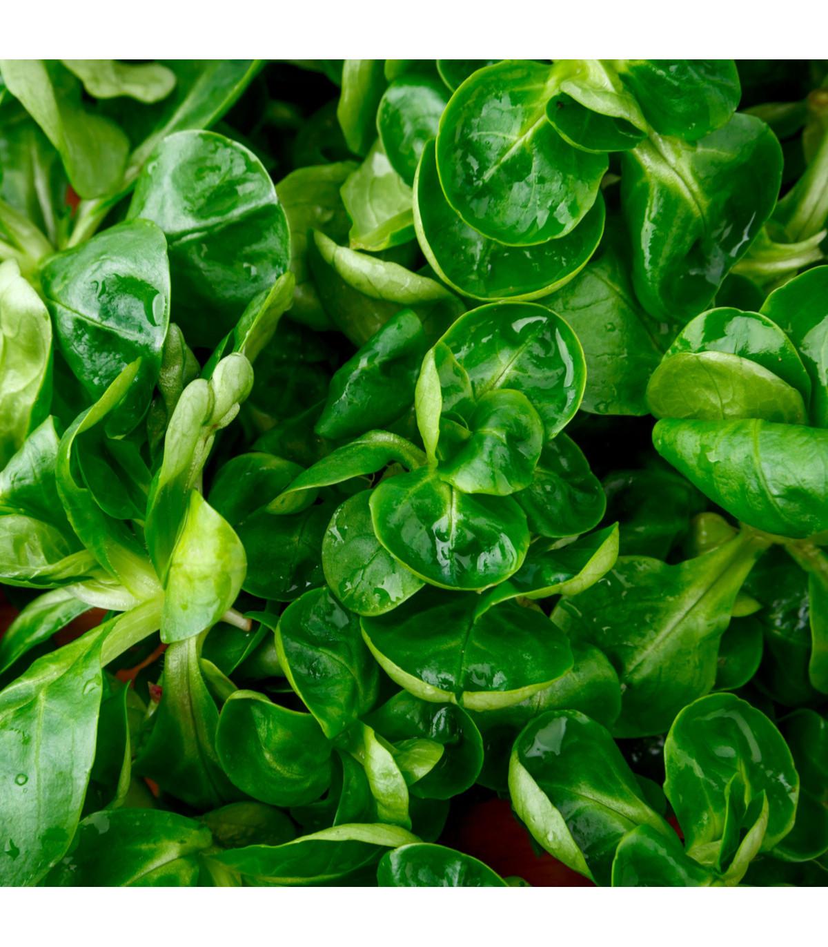 Valeriánka poľná Vít - Vallerianella locusta - polníček - semená - 200 ks